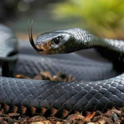 Pourquoi le Mamba est-il le serpent le plus craint au Gabon ?